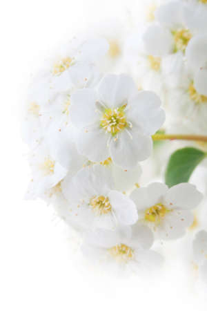 Spring blooming hawthorn in the close-up  Stock Photo