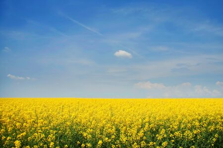 mustard plant: The background color of mustard  Stock Photo