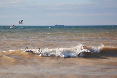 Swans on the Black Sea in Ukraine  Stock Photo