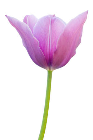 Purple tulip on a white background