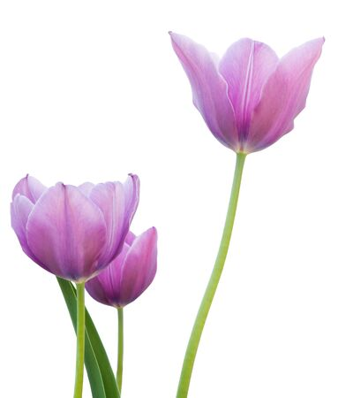Purple tulips on a white background  Stock Photo
