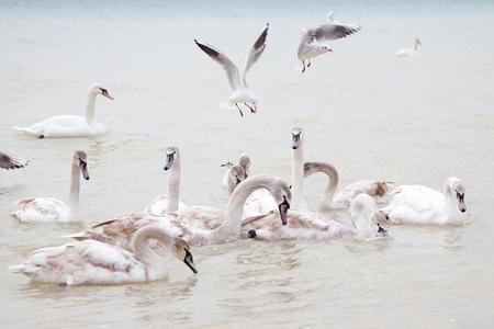 Swans on the Black Sea in Ukraine  photo
