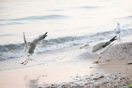 Seagulls on the background of the sea, with open wings