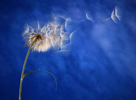 Large dandelion on blue background
