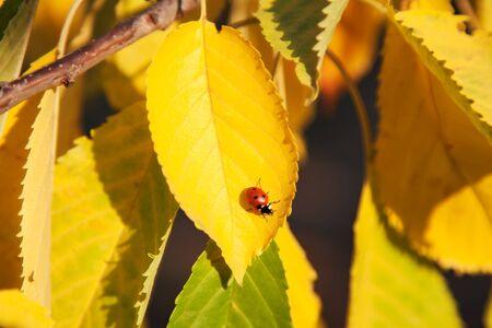 Autumn photo cherries with yellowed leaves Stock Photo