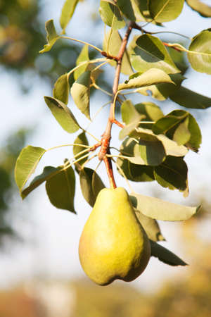 Ripe pear on the tree