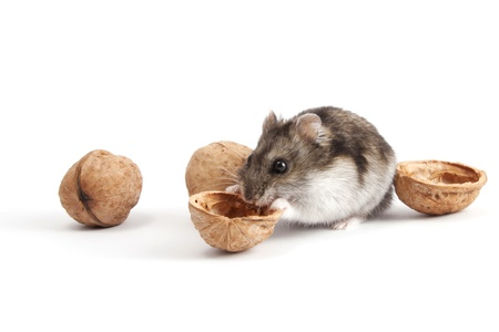Very hungry hamster and walnuts Stock Photo