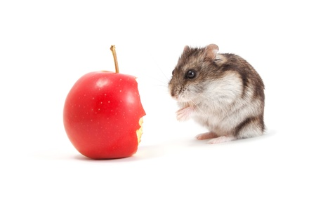 Very hungry hamster and apple
