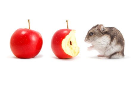 Very hungry hamster and apples Stock Photo