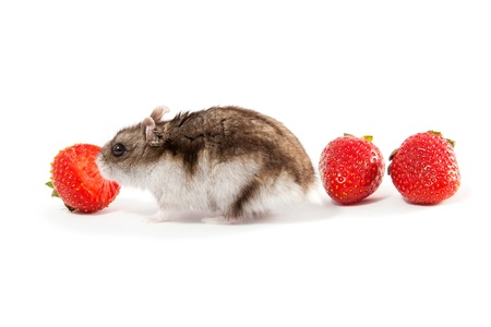 Very hungry hamster and strawberries