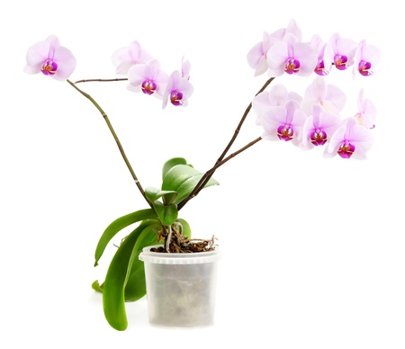 Background of pink tropical orchid