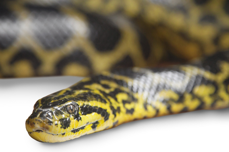 pythons: Adult boa, which lies in the aquarium