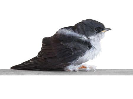 nestling: Nestling swallows on white  Stock Photo