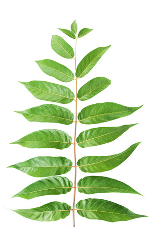 Foliage on a white background Stock Photo