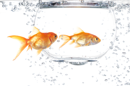 Two goldfish on a white background Stock Photo