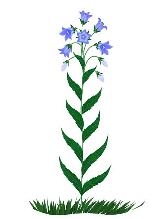 The image of flowers of family campanula