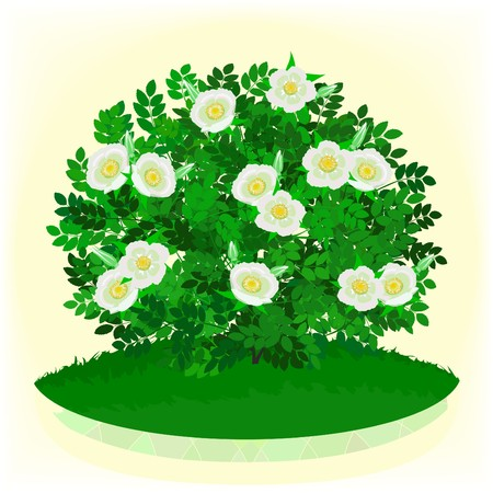 Bush of a dogrose with white flowers Stock Photo - 6891541