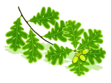 Oak branch with acorns on a white background Vector