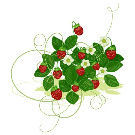 Bush of wild strawberry with berries and flowers on a white background Illustration