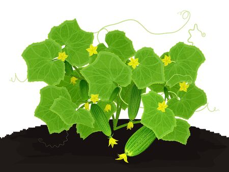 Blossoming bush with young cucumbers Illustration