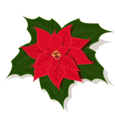 flor de pascua: La imagen de Euphorbia pulcherrima, diferente una llamada estrella de Navidad