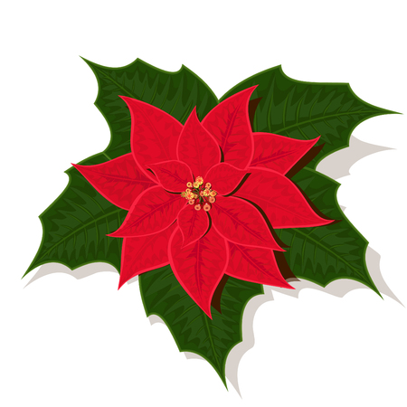 The image of poinsettia, differently a called Christmas star