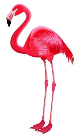 flamenco ave: Flamenco rojo sobre un fondo blanco Foto de archivo