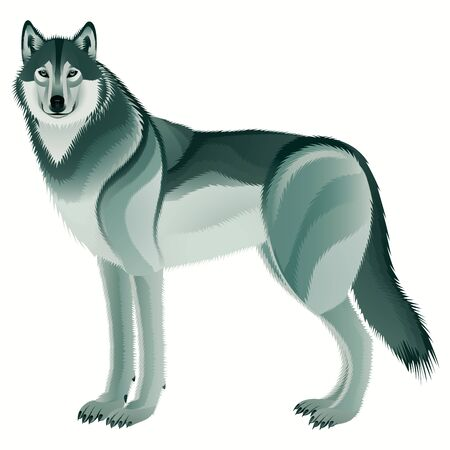 Grey wolf on a white background Stock Photo