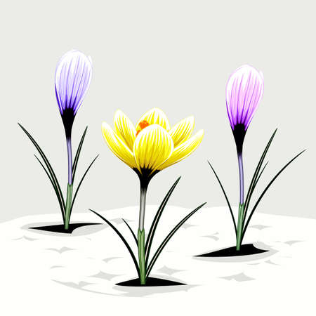 Three spring crocuses of different color against the stylized snow Illustration