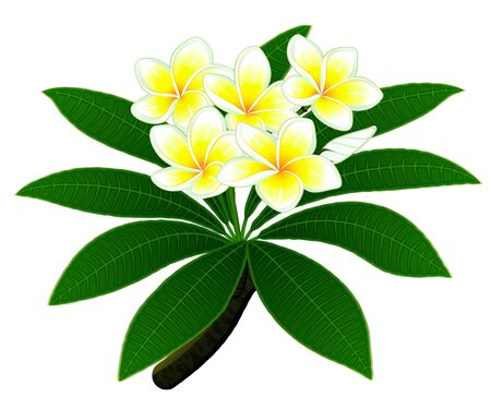 Branch of a tropical tree plumeria with group of flowers and a bud isolated Illustration