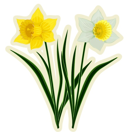 Yellow and white daffodils isolated Illustration