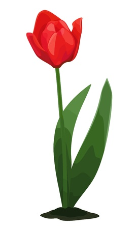The little red tulip on a white background Illustration