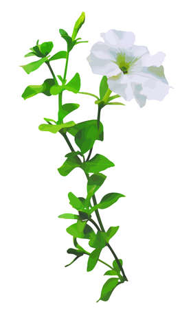 petunia: Realistic illustration with white petunias on a white background