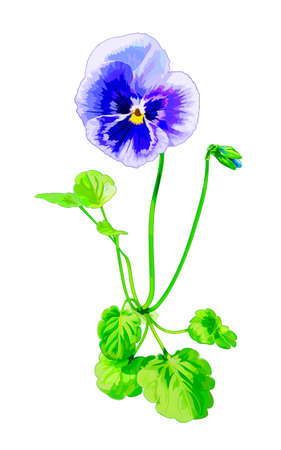 White-blue pansy, illuminated by the sun, isolated