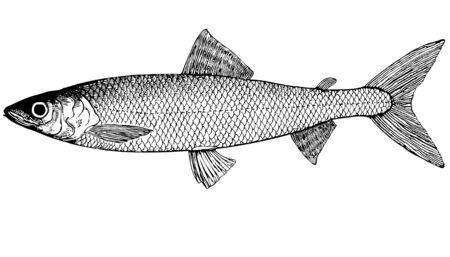 Omul fish living in coastal parts of the Arctic Ocean.