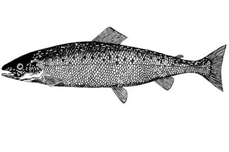 Fish Salmon belong to a family of salmon (Salnioni-dae). 6 well-known different species - salmon, hunchaback, tshawytscha, red, or sockeye, kisutsch and oncorhynchus sima. Mature salmon make the journey without return, ustremlyayas into rivers, where they Stock Photo - 3290073