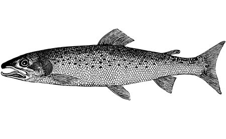 The class-Osteichthyes. Order-Salmoniformes. Family-Salmonidae Cuvier. Genus Taymeni-Hucho Gunther. Inhabitants of rapid foothill, mountain rivers and lakes of Siberia cold, with high oxygen. The size of 1.5 m long and more than 70 kg. The color brown bod Stok Fotoğraf