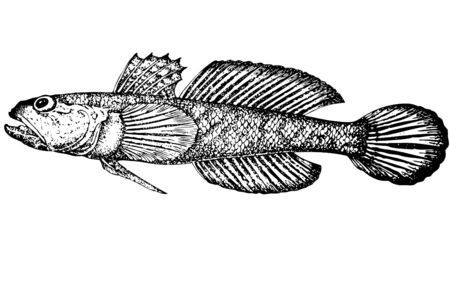 For that what to draw and describe the given figure it would be necessary to read through and see many magazines and books. Illustration. Distinctive feature of a fish are belly fins which are connected. Color of a body yellowish, grey with brown spots, s