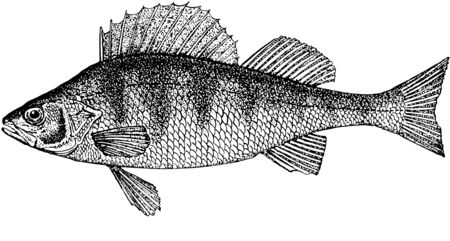 Illustration. A fish the perch. Model was just the caught fish. The further information from various sources. The perch of one most numerous inhabitants of fresh waters. The normal sizes up to 1200 gram about 52 centimeters are long.The anatomic, correct