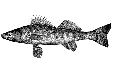 For that what to draw and describe the given figure it would be necessary to read through and see many magazines and books. Illustration. The anatomic, correct image of the Pike perch. The extended body, the pointed snout. A strong teeth in the form of ca Stock Photo