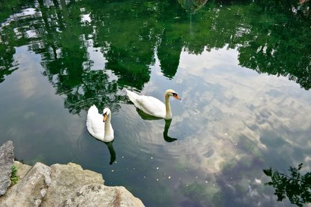 Bright day. Two swan swim in a pond. Their podkarmlivayut park visitors Stock Photo