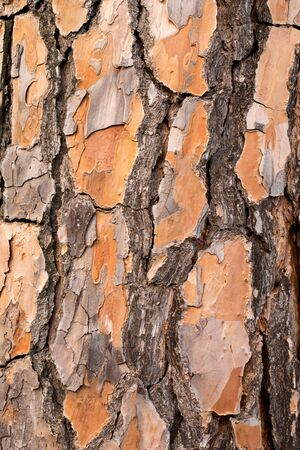 Background of the Bark of the Pine. Wallpaper texture.Close up. Banque d'images