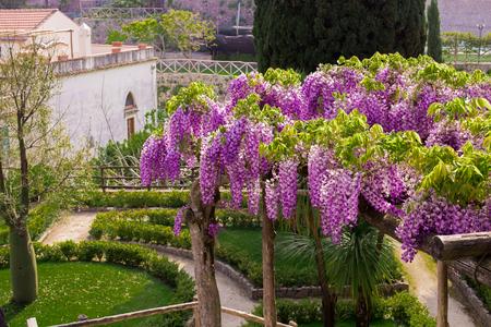 Wisteria in blossom in the garden of Villa Rufalo in Ravello,Amalfi Coast, Sorrento, Italy Stock Photo