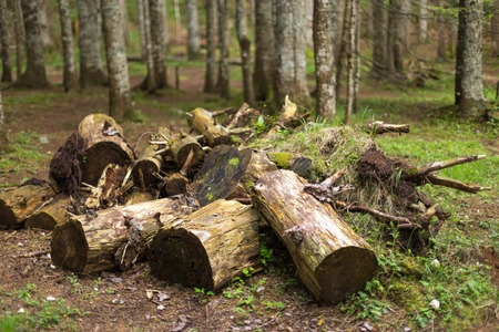 Big tree cut down in the forest, deforestation or global warming concept, environmental issue