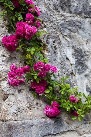 Raspberry rose on a gray stone wall.
