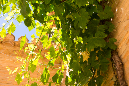 Bunches of green grapes hanging in the sun in front of an old stone wall.