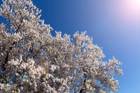 Spring blossom background. Beautiful nature scene with blooming tree on sunny day. Spring flowers. Beautiful orchard in Springtime. Abstract background