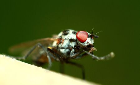 Fly with red eyes, small insect macro. The common green bottle fly is a blowfly found in most areas of the world. High quality photo