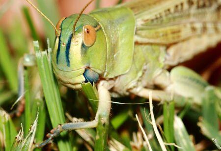Extreme locust closeup. Grasshopper on a green leaf. High quality photo