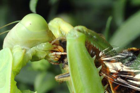 mantis, religious mantis, wasp feeding, green mantis close up. High quality photo